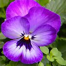 Violet Pansy by Caroline  Lloyd