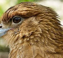 Falcon Up Close by mamasita