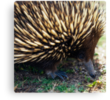 Ernie The Echidna Canvas Print