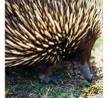 Ernie The Echidna Photographic Print