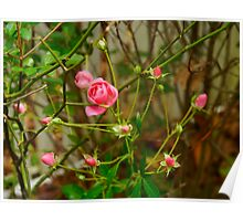 Tashmoo beauty still on the bush after Hurricane Sandy Poster