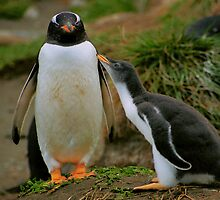 Gentoo Parent and Chick, Macquarie Island by Carole-Anne