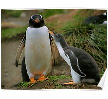 Gentoo Parent and Chick, Macquarie Island Poster