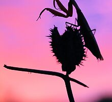 Mantis sunrise by jimmy hoffman