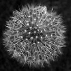 Dandelion Dreams by DavidWHughes