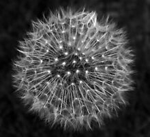 Dandelion Dream by DavidWHughes
