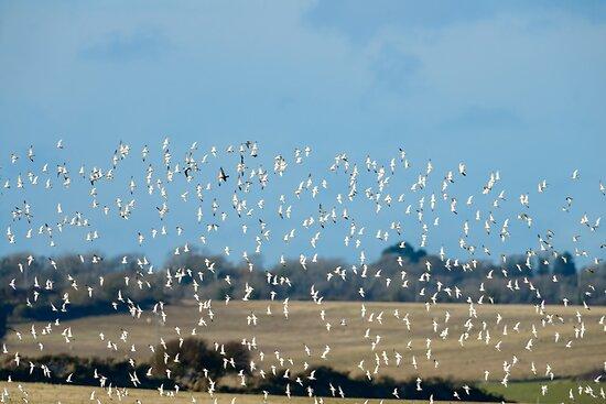 Golden plovers flocking over Bannow Bay, County Wexford, Ireland by Andrew Jones