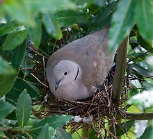 Collared Dove by Nigel Bangert