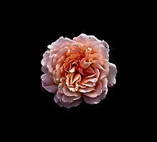 Sheer Beauty by photosbymo