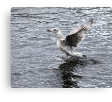 seagull the flying Canvas Print
