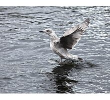 seagull the flying Photographic Print