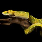 The yellow python by AngiNelson