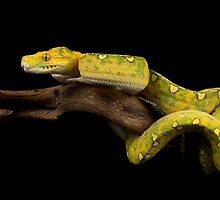 The yellow python by Angi Wallace