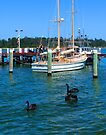 Black Swans at Lakes entrance by Yukondick