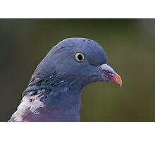 Wood Pigeon.. Photographic Print