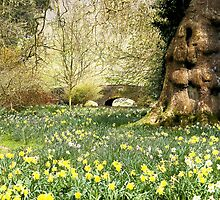 English spring daffodils by Daniel Loxley Warwood