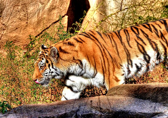 Tiger On The Move by Kathy Baccari