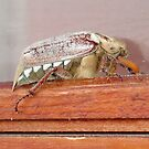 Cockchafer Dusted With Pine Pollen by taiche