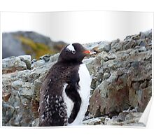 Penguin Chick Poster