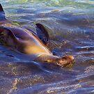 Galagapos Fur Seal by Sylwester Zacheja