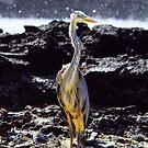 Great Blue Heron by Sylwester Zacheja