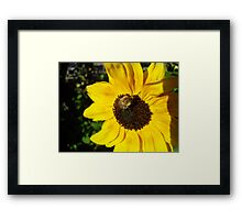 Bumble bee on a Sunflower  Framed Print