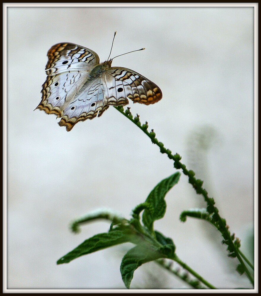 White Peacock by Mikell Herrick