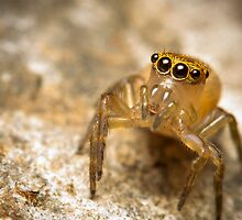 (Prostheclina pallida) female Jumping Spider by Kerrod Sulter