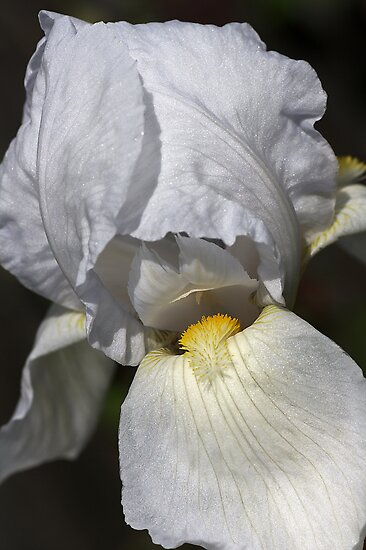 Iris of White by Joy Watson