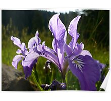 Summer Irises Poster