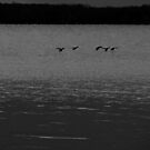 Geese landing at Oka by AndreCosto