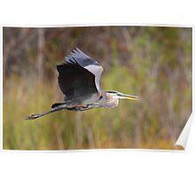 Great Blue Heron In Flight III Poster