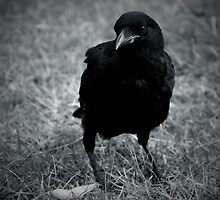 Crow by David Toolan