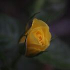 Soft Yellow Rose by Stuart Daddow Photography