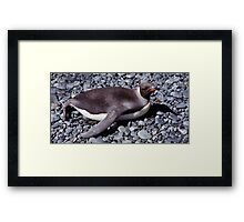 Juvenile King Penguin Sun Bathing Framed Print