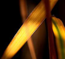 Backlit leaf by Paul Ridley