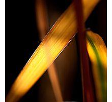 Backlit leaf Photographic Print