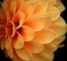 Orange Dahlia by Paul Ridley