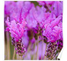 Lavender Monochrome Poster