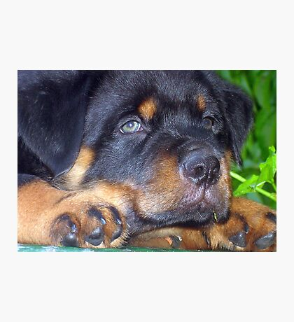 Photographic Portrait Of A Young Male Rottweiler Photographic Print