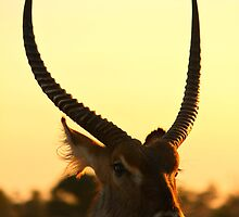 Waterbuck by PBreedveld