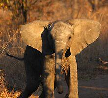 Elephant calf charge by PBreedveld