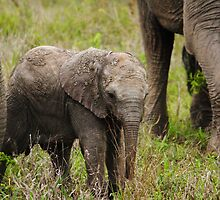 Elephant calf 2 by PBreedveld