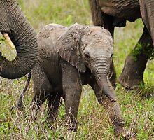 Elephant Calf 3 by PBreedveld