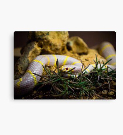 Albino King Snake Canvas Print