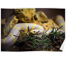 Albino King Snake Poster