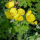 Yellow Wood Poppy by GardenJoy