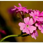 Summerpink by liesbeth