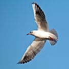 Black-headed Gull in flight by M.S. Photography & Art