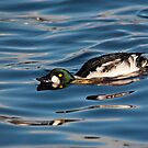 Goldeneye Duck by M.S. Photography & Art